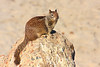 California Ground Squirrel On A Beach Rock (Spermophilius beecheyi)