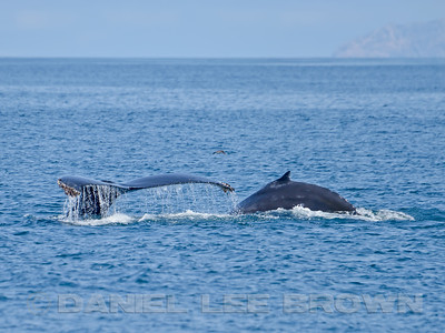 HUMPBACK WHALE, flukes and dorsal fin
