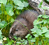 Manicured Muskrat!<br /> Celery Farm<br /> Allendale, New Jersey, 2010