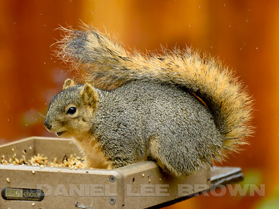 EASTERN_FOX_SQUIRREL_SAC_CO_CA_2016-01-19_D01_2500_1106