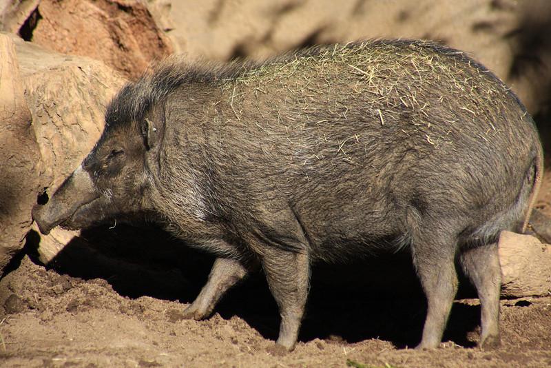 Visayan Warty Pig (Sus cebifrons) captive