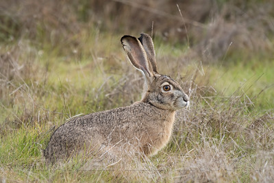 BLACK_TAILED_JACKRABBIT_GLE_CO_CA_2016-12-27_D02_2500_4848