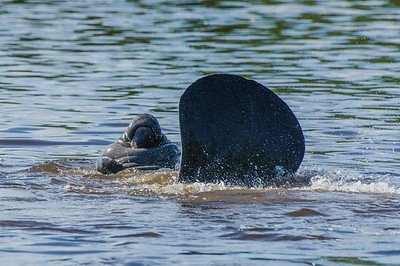 West Indian (Florida) Manatee (Trichechus manatus latirostris)