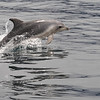 Bruny Is. Cruise-dolphins