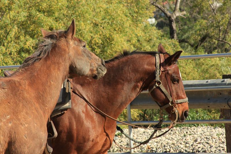 Two Horses (Equus caballus)