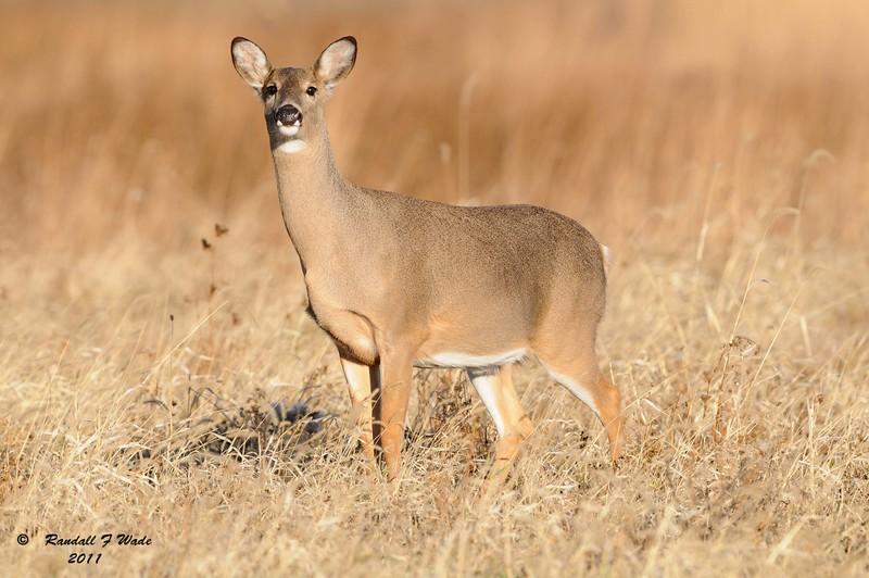 Virginia Whitetail Deer