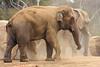 Elephant (Elephas maximus) captive