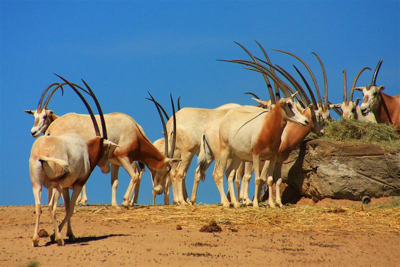 Scimitar-Horned Onyx (Onyx dammah) captive