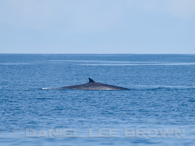 FIN WHALE, surfacing