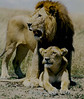 In the shadow of the king<br /> Maasai Mara, Kenya, 1995