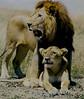 In the shadow of the king<br /> Maasai Mara, Kenya, 1995