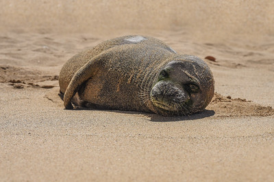 Hawaiian Monk Seal (Neomonachus schauinslandi) - ENDANGERED SPECIES