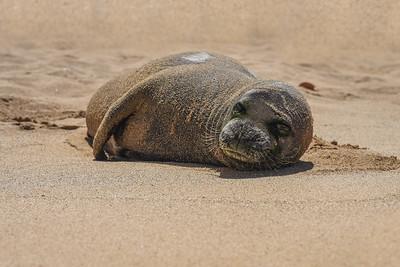 Hawaiian Monk Seal (Neomonachus schauinslandi) - ENDANGERED SPECIES