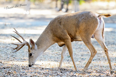 BLACK-TAILED_DEER_SBT_CO_CA_2016-09-06_D02_2500_7693