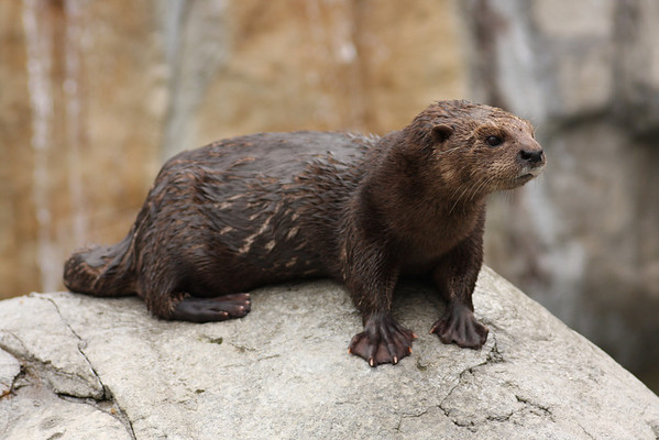 African Otter Pause (Lutra canadensis) captive