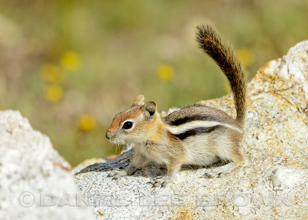 Golden-mantled Ground Squirrel, Ruby Mountains, Elko County, Nevada, 8-19-14. Cropped image.