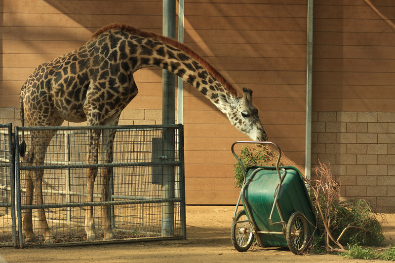 Giraffe Reaching (Giraffa camelopardis) captive