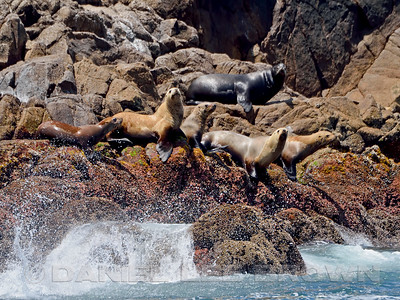 STELLER'S SEALIONS WITH NORTHERN FUR SEAL