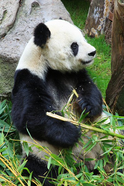 Giant Panda (Ailuropoda melanoleuca) captive