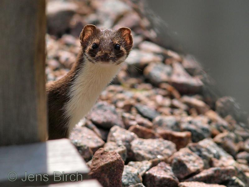 Weasel (vessla), Smedstad, August 09