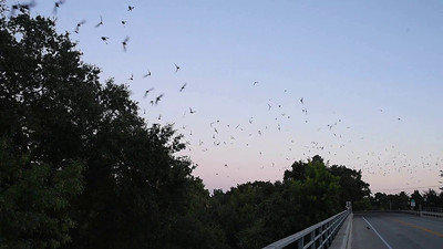 Mexican_Free-tailed_Bats_slo_mo_8-2-16