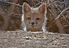 Curious but Cautious<br /> Young red fox peering out of the den<br /> Celery Farm, Allendale, New Jersey, 2008
