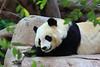 Giant Panda (Alluropoda melonoleuca) captive