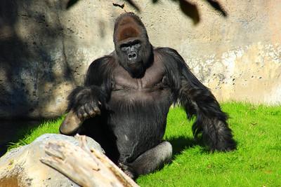 Western Gorilla (Gorilla gorilla gorilla) captive