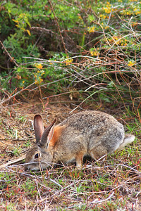 Desert Cottontail (Sylvilagus auduboni) Torrey Pines State Park, California