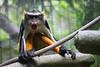 Wolf's Guenons (Cercoptihecus woli) captive