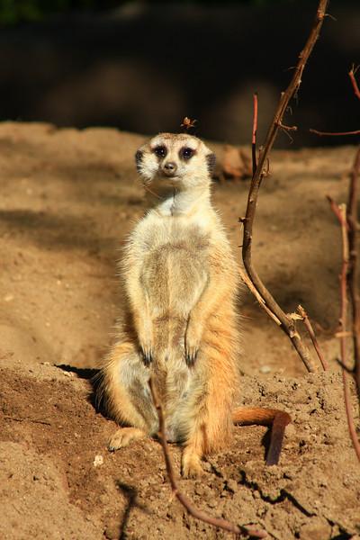 Meerkat (Suricata suricatta) captive