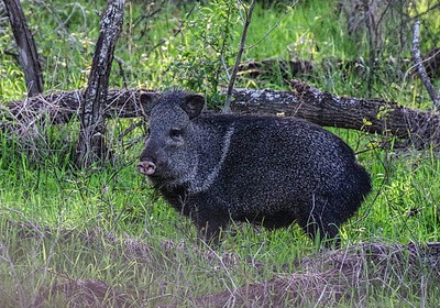 Collared Peccary/Javelina (Peccary angulatus)