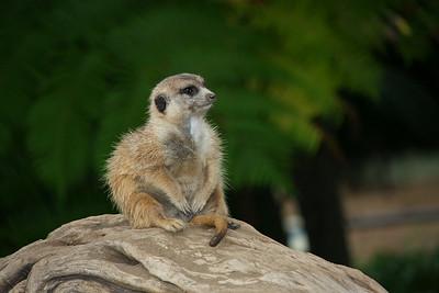 Meerkat On Alert (Suricata suricatta) captive