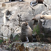 Bruny Is. Cruise-Seals