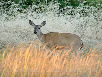 BLACK_TAILED_DEER_GLE_CO_CA_2016-06-28_D02_2500_5002