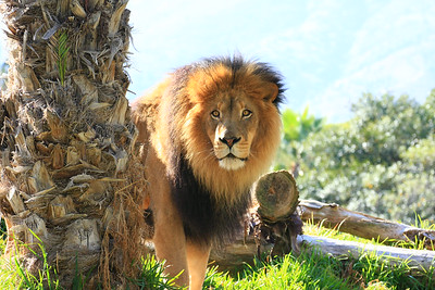 Lion Stare  (Panthera leo) captive