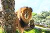 Lion Stare  (Panthera leo) captive