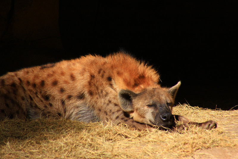 Spotted Hyena (Crocuta arocuta) captive