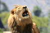Lion Roar (Panthera leo) captive