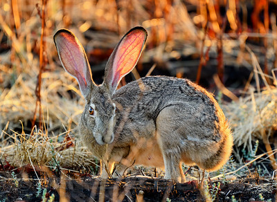 BLACK_TAILED_JACKRABBIT_GLE_CO_CA_2016-06-28_D02_2500_5023