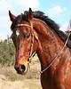 Portrait Of A Horse (Equus caballus)