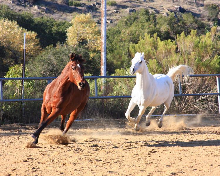 Horses Romping (Equus caballus)
