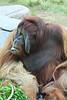 Orangutan (Pongo pygmaeus) captive