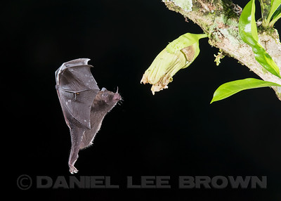NECTAR BAT , Common Long-tongued Bat