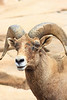 Bighorn Ram (Ovis canadensis) captive