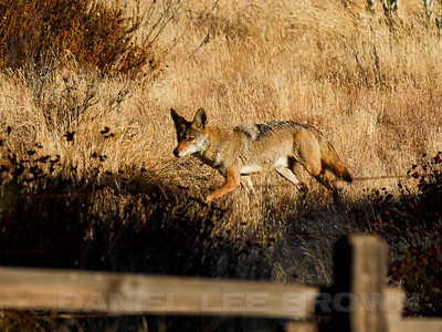 COYOTE_SBT_CO_CA_2016-09-06_D02_2500_7617