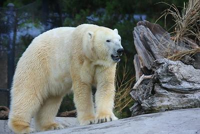 Polar Bear (Ursus maritimus) captive