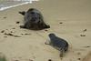 Harbor Seal and Pup (Phoca vitulina)