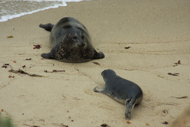 Harbor Seal and Pup (Phoca vitulina)
