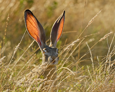 BLACK_TAILED_JACKRABBIT_GLE_CO_CA_2016-06-28_D02_2500_5124